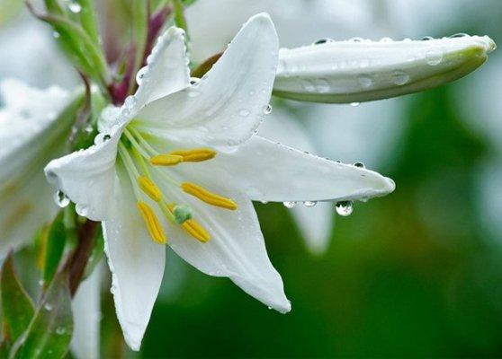 а. лечебные свойства белой лилии