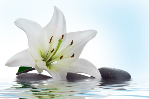 а. лечебные свойства цветов лилии