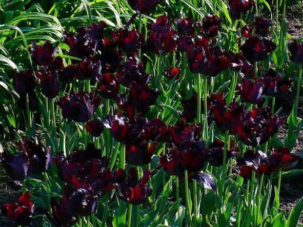 а. Самые дорогие цветы в мире черный тюльпан