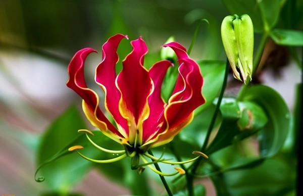 а. глориоза цветы