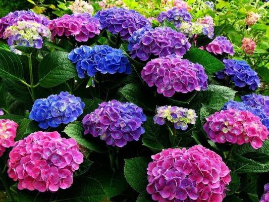 а. гортензия цветы