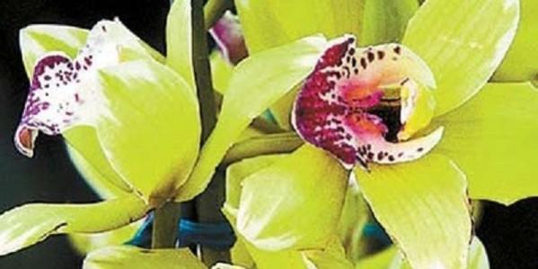 а. орхидея shenzhen nongke