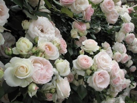 а. самая дорогая роза в мире пьер де росар