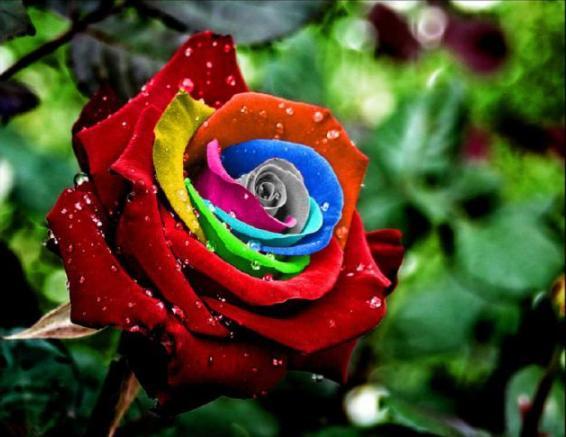 а. самые дорогие розы в мире