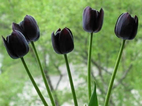 а. самые дорогие цветы в мире черный тюльпан 1
