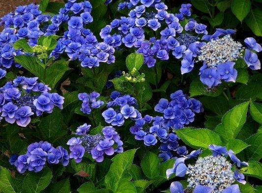 а. цветы гортензия