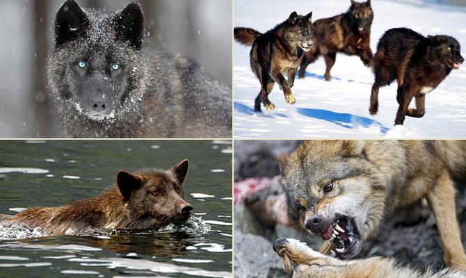 а. факты о волках 1