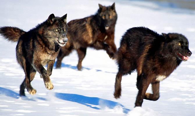 а. факты о волках 2