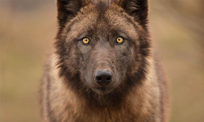 а. факты о волках 4