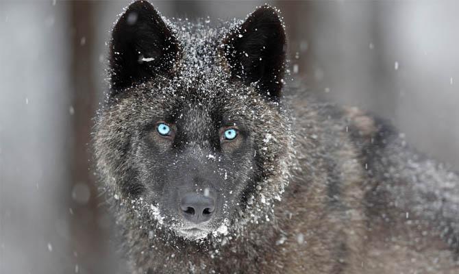 а. факты о волках 8