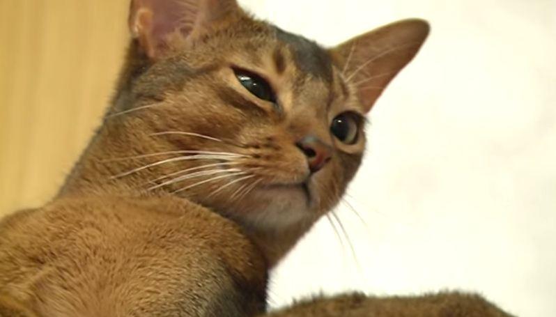 кошки породы абиссинцы 3