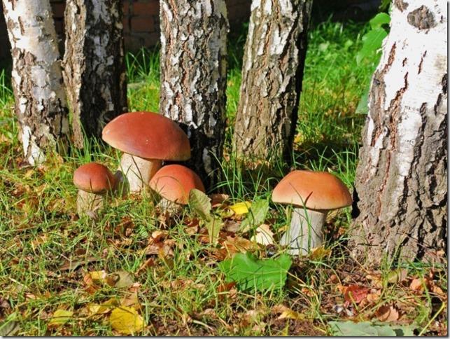 1. 1. картинки белые грибы фото