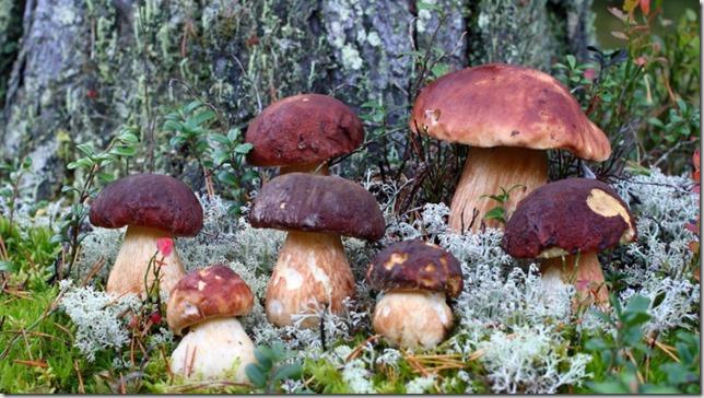 1. 1. картинки грибы фото грибы в лесу