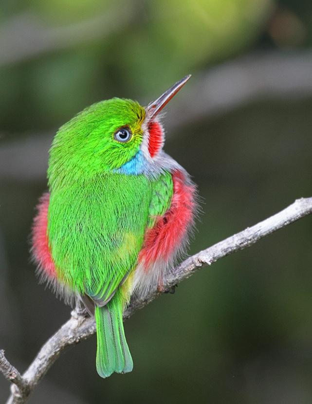 Kubinskij-todi-Todus-multicolor-mnogotsvetnaya-ptichka-foto-10
