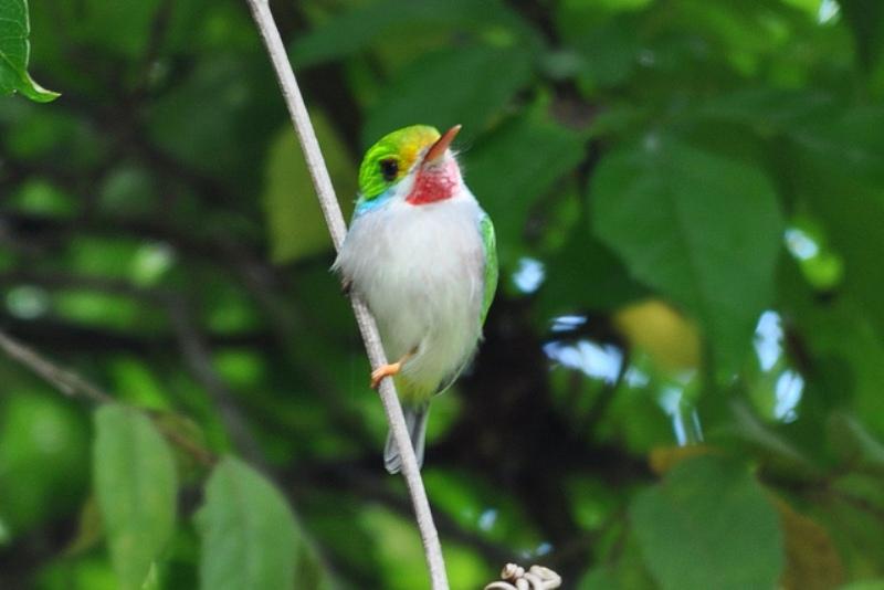 Kubinskij-todi-Todus-multicolor-mnogotsvetnaya-ptichka-foto-11
