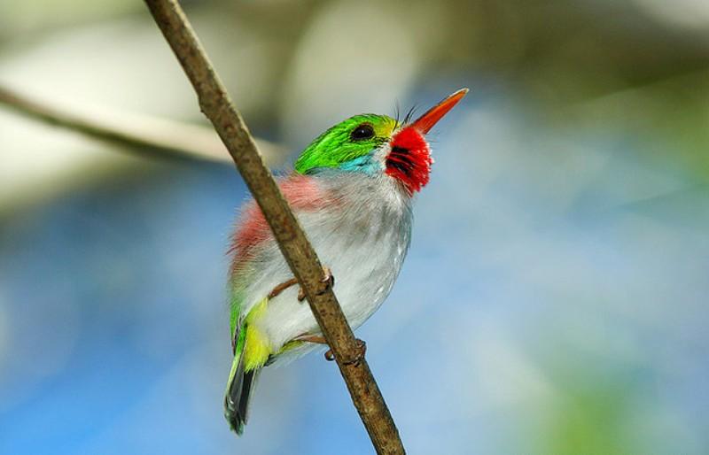 Kubinskij-todi-Todus-multicolor-mnogotsvetnaya-ptichka-foto-12