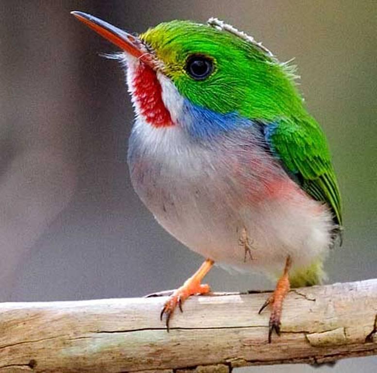 Kubinskij-todi-Todus-multicolor-mnogotsvetnaya-ptichka-foto-14