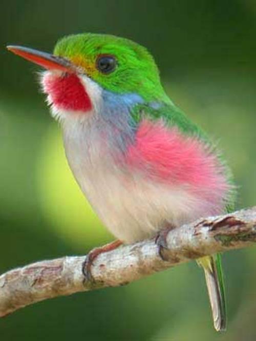 Kubinskij-todi-Todus-multicolor-mnogotsvetnaya-ptichka-foto-16