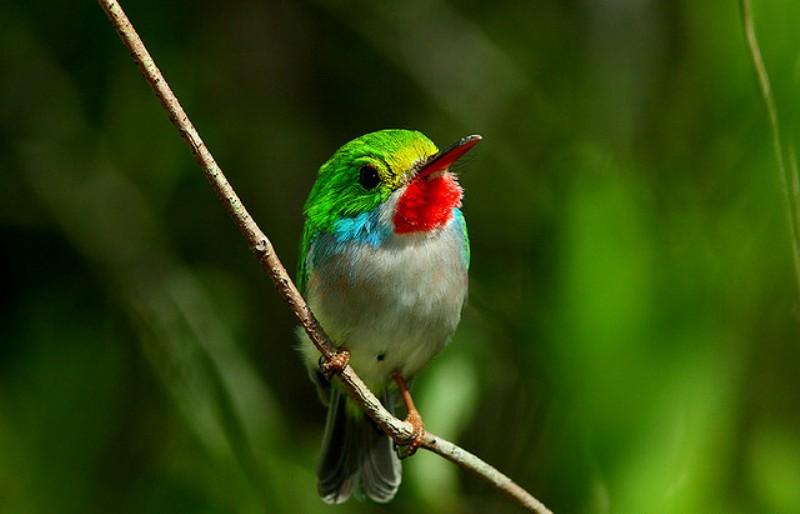 Kubinskij-todi-Todus-multicolor-mnogotsvetnaya-ptichka-foto-18