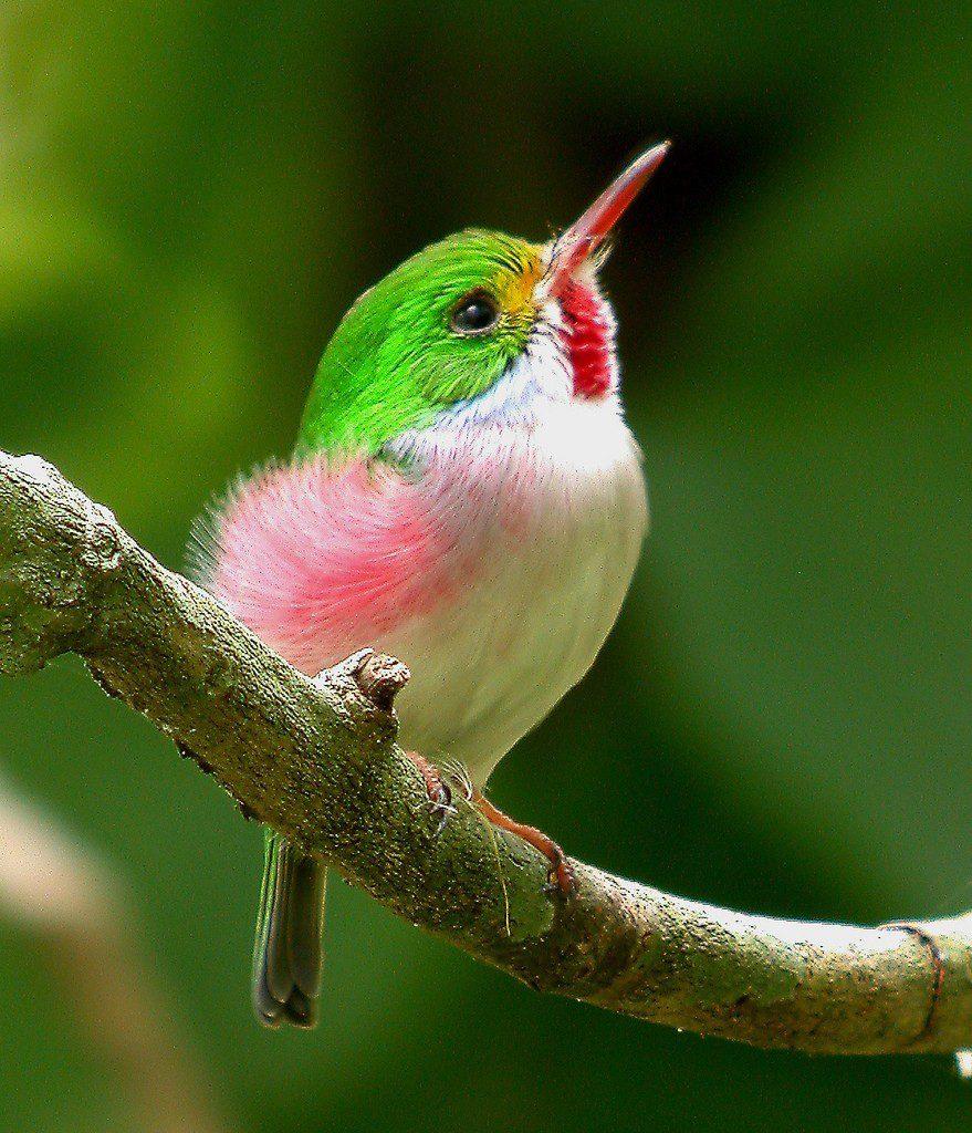 Kubinskij-todi-Todus-multicolor-mnogotsvetnaya-ptichka-foto-19