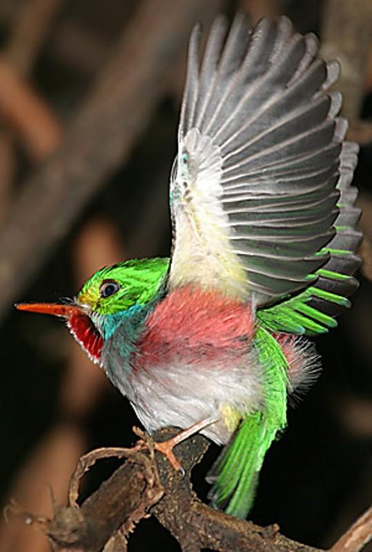 Kubinskij-todi-Todus-multicolor-mnogotsvetnaya-ptichka-foto-21