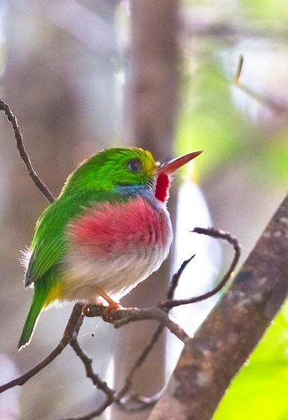 Kubinskij-todi-Todus-multicolor-mnogotsvetnaya-ptichka-foto-3