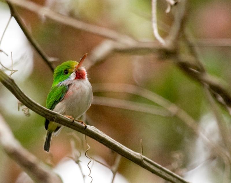 Kubinskij-todi-Todus-multicolor-mnogotsvetnaya-ptichka-foto-7
