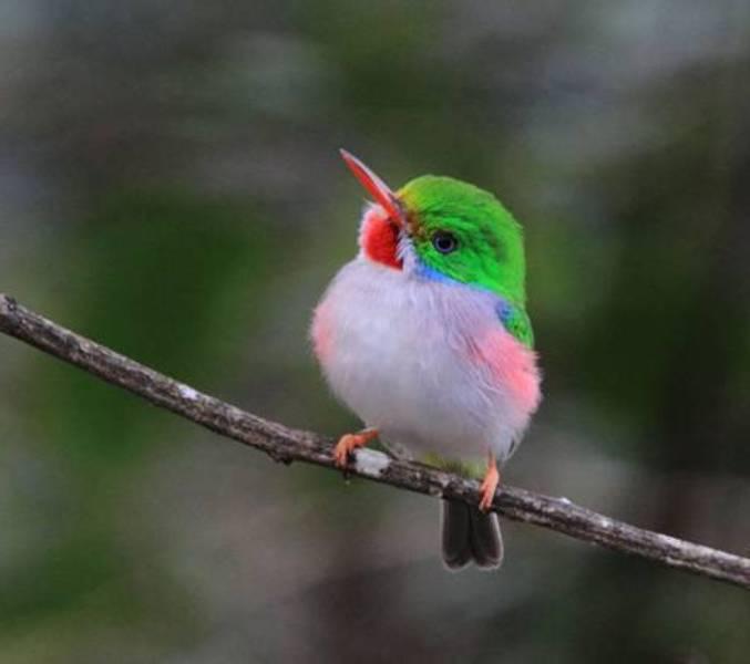 Kubinskij-todi-Todus-multicolor-mnogotsvetnaya-ptichka-foto..