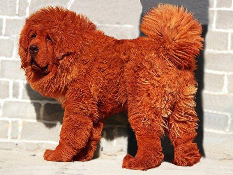 samye-bolshie-sobaki-v-mire-tibetskij-mastif-foto-12