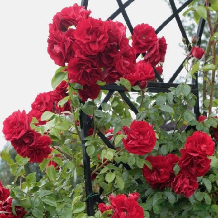 dushistyj-sad-s-aprelya-do-zamorozkov-pozdnej-oseni-tsvety-rozy