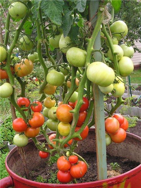 kak-posadit-i-vyrastit-pomidory-v-bochkah