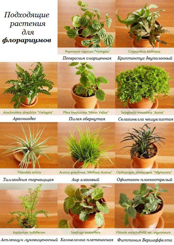 rasteniya-dlya-florariumov-florarium-svoimi-rukami