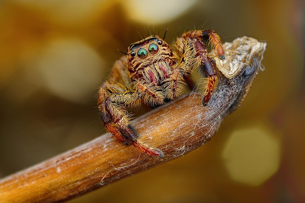 Makrosnimki-fotografij-paukov-ot-fotografa-Jimmy-Kong
