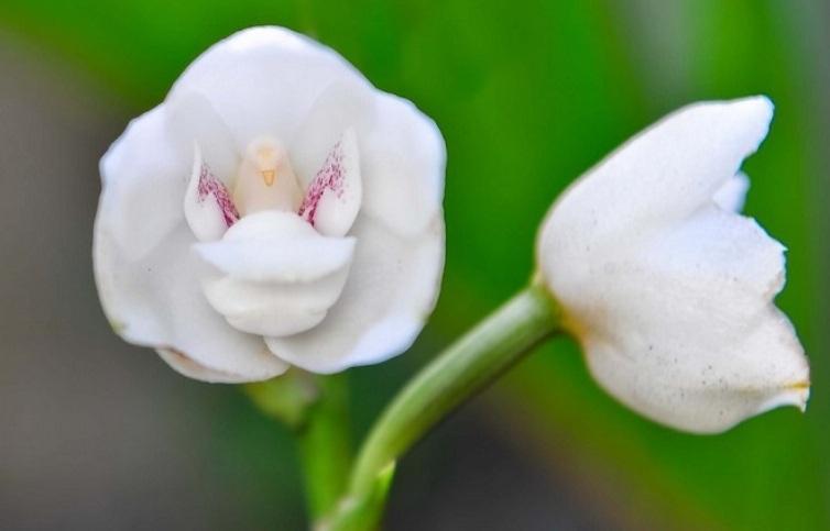 Orhidei-pohozhie-na-babochek-ptits-i-zhivotnyh-9