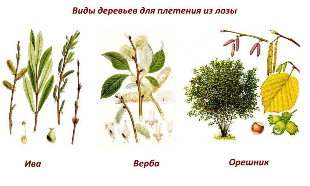 Vidy-derevev-dlya-pleteniya-iz-lozy