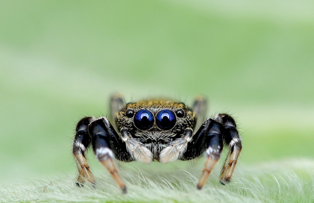 fotografii-makrosnimki-paukov-fotografa-Jimmy-Kong