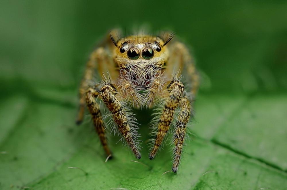 makrosnimki-paukov-i-nasekomyh-fotografa-Jimmy-Kong