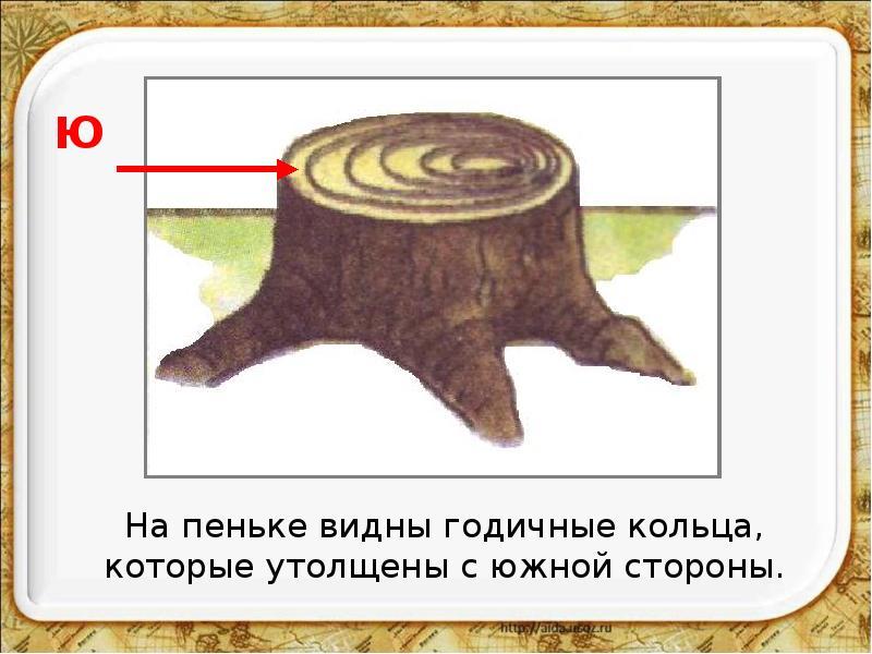 Opredelenie-storon-sveta-po-koltsam-pnya-v-lesu