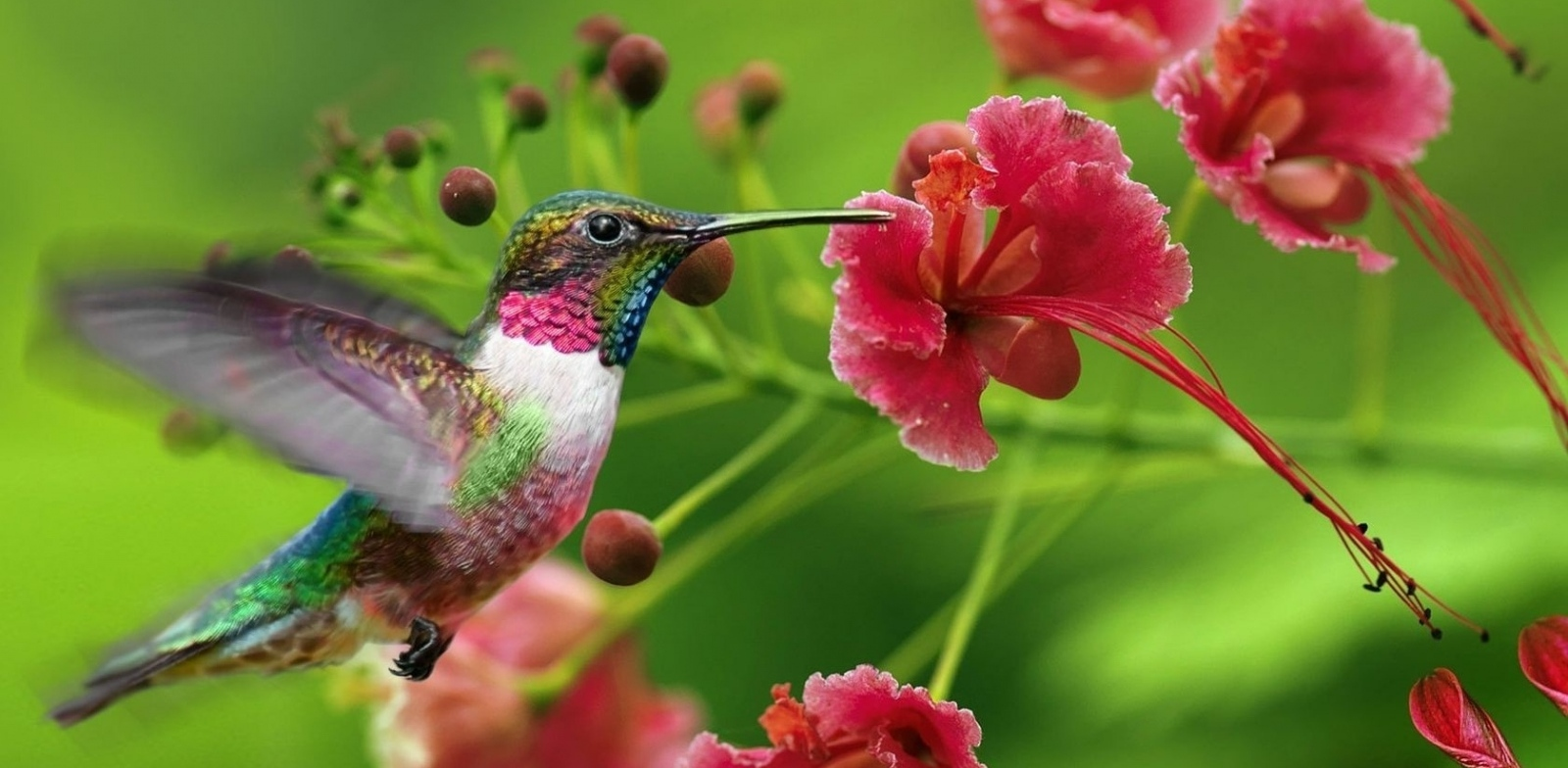 Samaya-malenkaya-ptitsa-Kolibri-2-video-foto-3