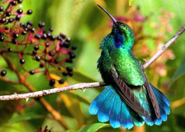Samaya-malenkaya-ptitsa-Kolibri-2-video-foto-4