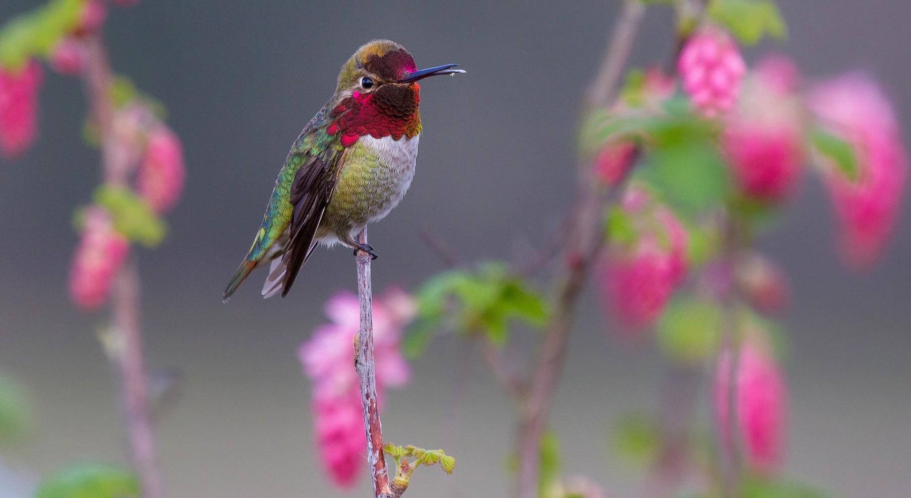Samaya-malenkaya-ptitsa-Kolibri-2-video-foto