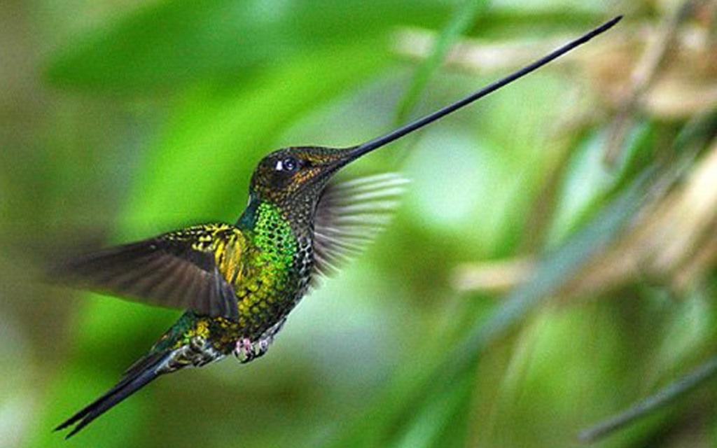 kolibri-mechenosets-samyj-dlinnyj-klyuv