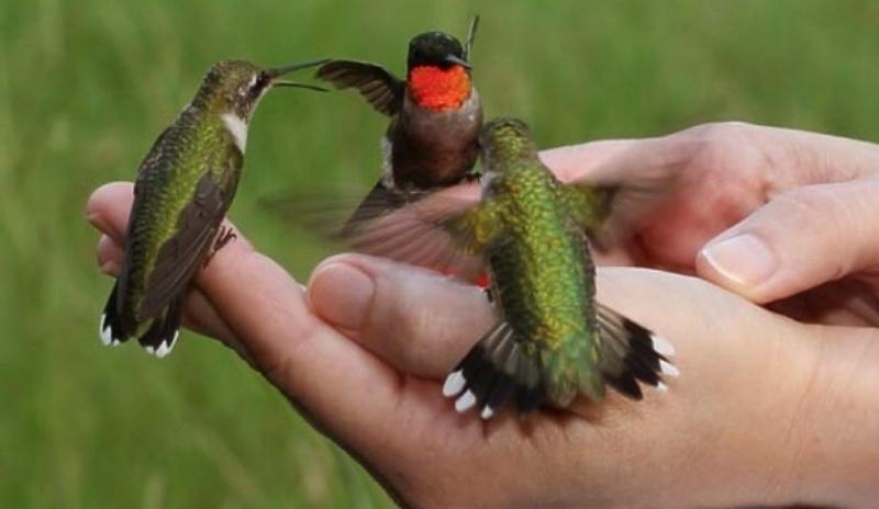 kolibri-na-rukah-cheloveka-pyut-nektar