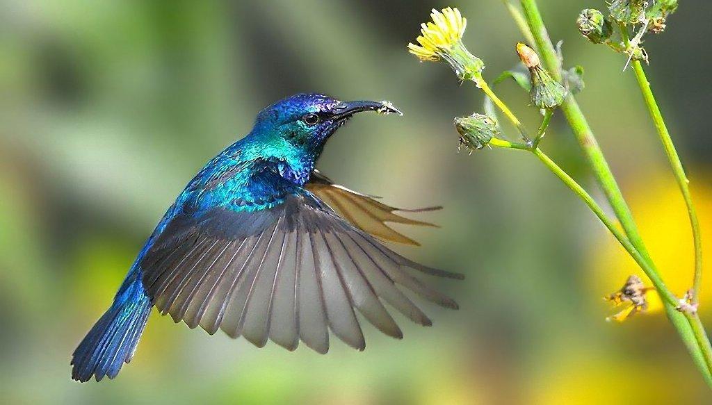kolibri-opisanie-video-foto-17