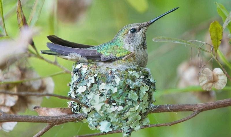 kolibri-opisanie-video-foto-samka-kolibri-v-gnezde
