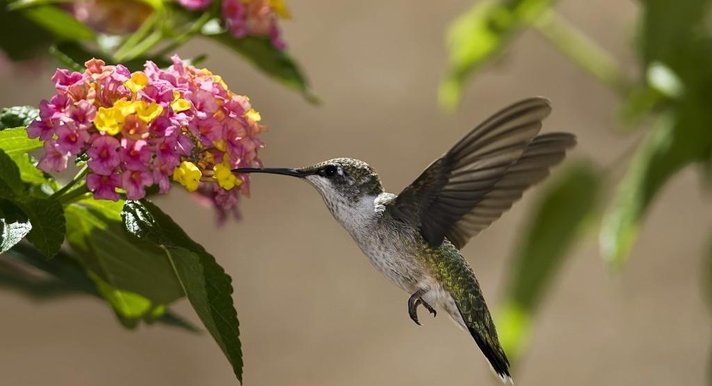 kolibri-opisanie-video