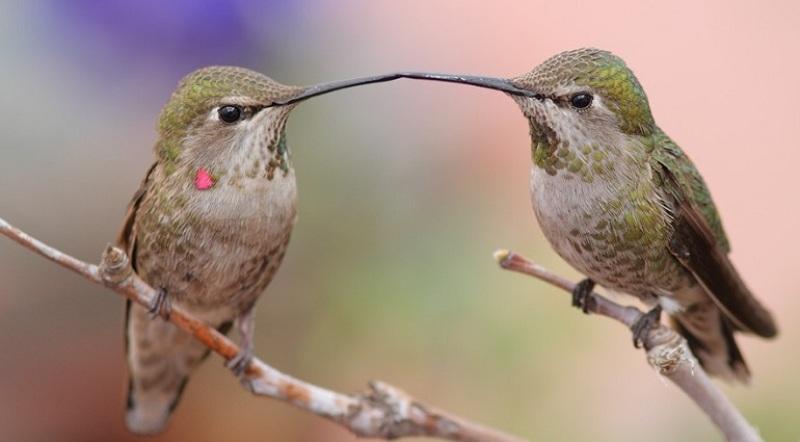 kolibri-samets-i-samka
