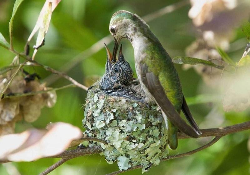 kolibri-v-gnezde-s-ptentsami-opisanie-video-foto