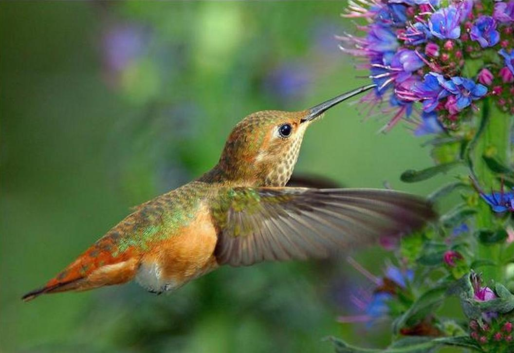 malenkaya-ptitsa-kolibri-opisanie-video-foto