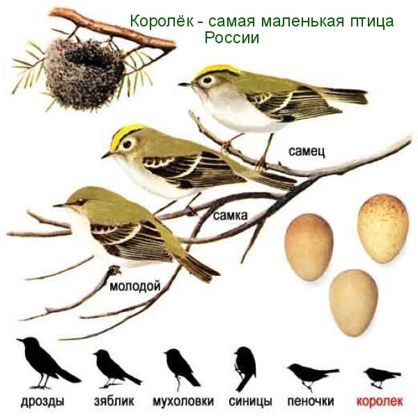 korolyok-samaya-malenkaya-ptitsa-Rossii-foto-video